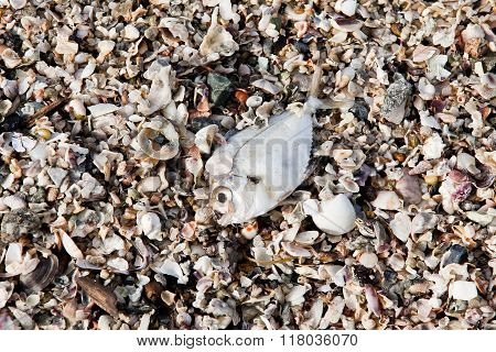 Decomposing dead fish carcass washed ashore on beach with mostly fish bones left