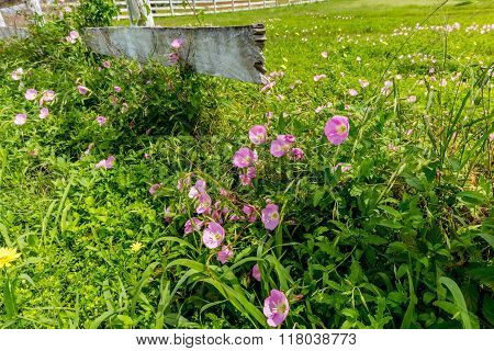 Texas Pink Evening Primrose Wildflowers At Wooden Fence