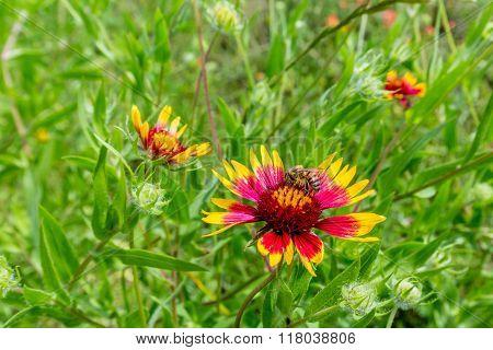 Honey Bee On A Texas Indian Blanket (or Fire Wheel)  Wildflower
