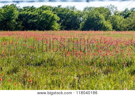 A Beautiful Field Of Bright Orange Indian Paintbrush In Oklahoma
