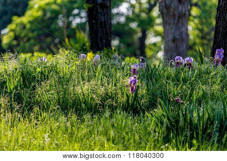Purple Flowers in the Woods