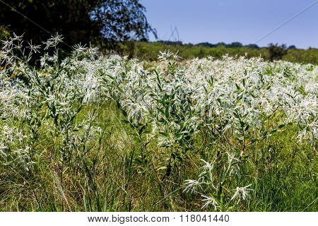 Snow On The Prairie (euphorbia Bicolor) Wildflowers