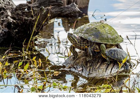 A Couple of Turtles on Log in Lake