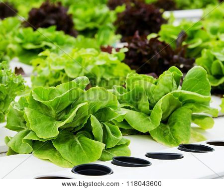 hydroponics Vegetable in Trough Vegetable hydroponics for health
