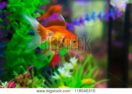 Goldfish in aquarium with green plants snag and stones