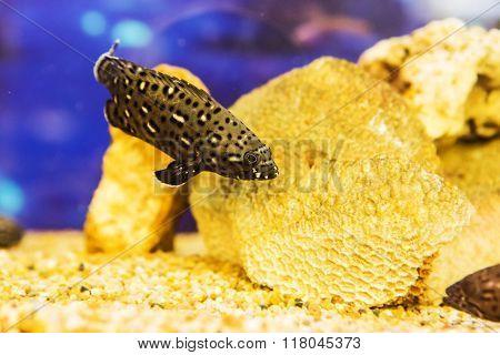 White spotted grouper (Epinephelus caeruleopunctatus) in the coral reef