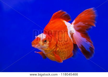 Gold fish swimming in water on blue background