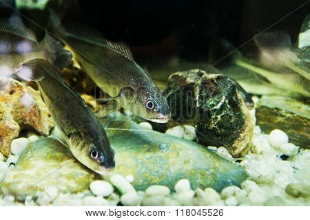 Boesemania microlepis in under water from aquarium