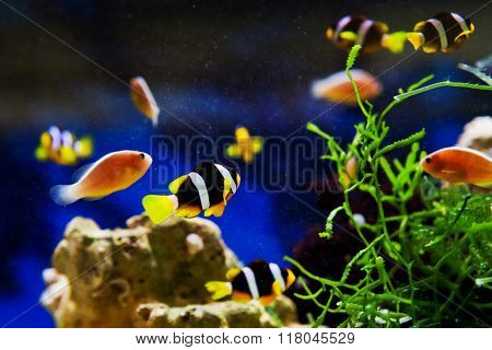 Small Anemonefish in the aquarium near caral