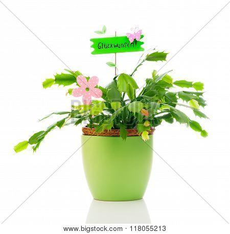 Schlumbergera Plant Is A Genus