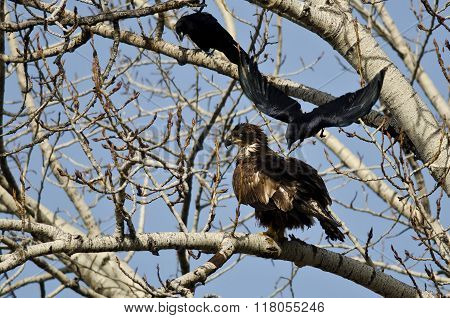 Young Bald Eagle Being Attacked By An American Crow