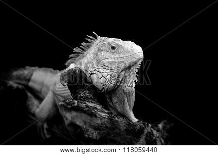 Iguana On Dark Background