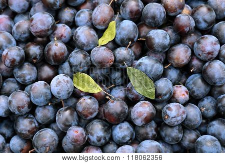 Plurality Of Blue Thorns Plums Fruits