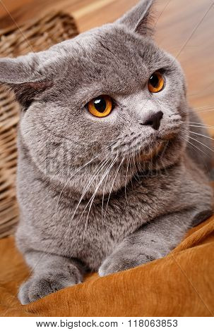 portrait of British Shorthair cat