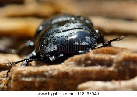Lesser stag beetle (Dorcus parallelipipedus) male head on