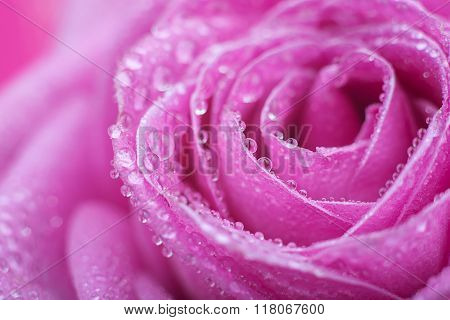 Pink rose macro close up with drops of dew