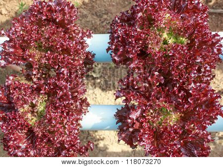 Close Up Fresh Red Coral Lettuce Vegetable In Hydroponic Farm