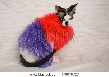 Sphynx cat wearing red and purple pullover