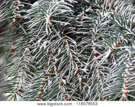 Winter Conifer Needles