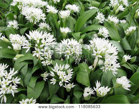 Blooming ramsons