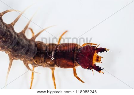 A Fishfly Larva
