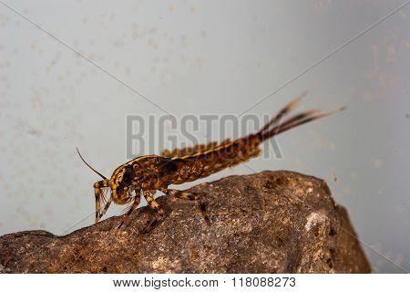 Isonychia Swimming Mayfly Nymph