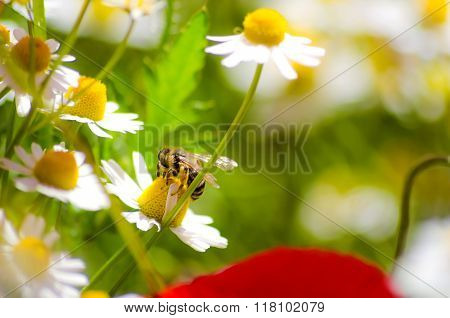 Bee over chamomile flower