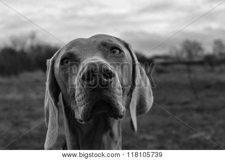 Black and white image of dog