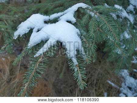 Plants Covered With Snow, Southern Bohemia