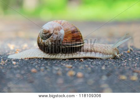 Slow mollusk snail traveling on the road