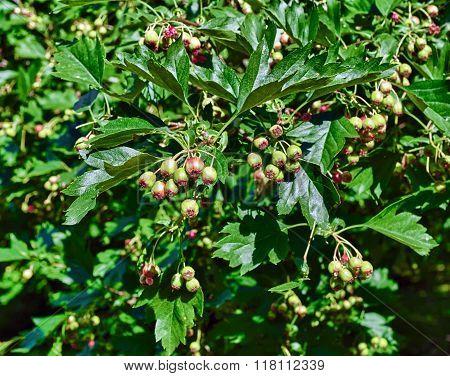 Ripening Fruits Of Viburnum