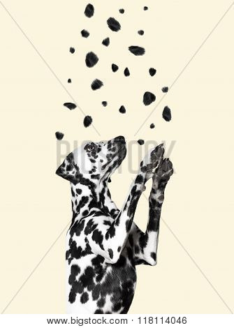 Dalmatian Catches His Spots, Flying From The Top