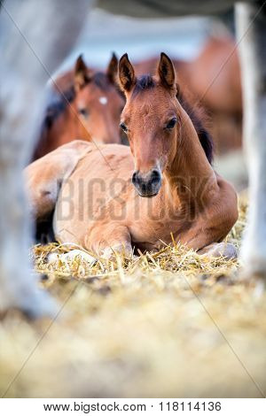 Foals lying on hay outdoors