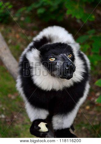 Black-and-white Ruffed Lemur Eating