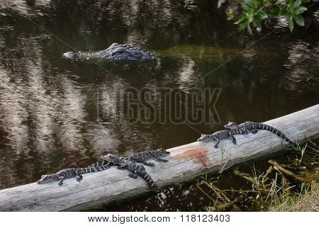 Momma Alligator