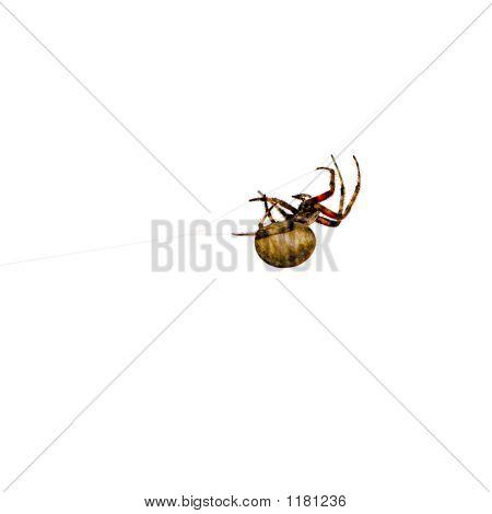 Garden Spider - Larinioides ~ Orb Weaver, Araneus