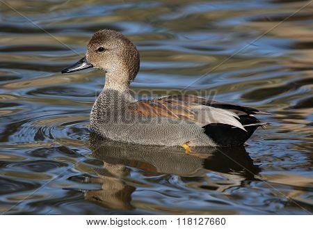 Gadwall Duck Drake