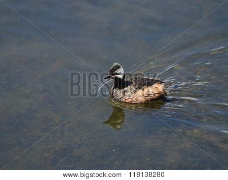 White tufted grebe Rollandia rollandia seen in Buenos Aires Argentina