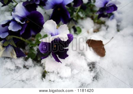 Stock Image Of Pansies Under Snow