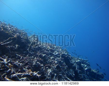 Schooling fish on the dead coral