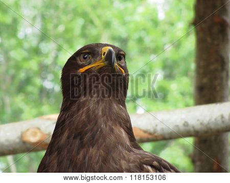 Portrait Of Steppe Eagle Over A Nature Blurred Background