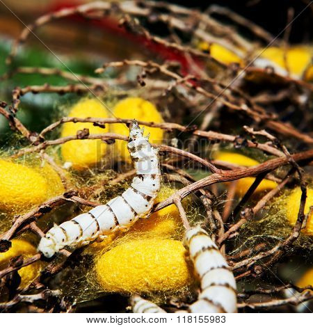 Close up in sect Silkworm on tree