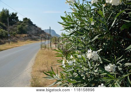 Oleander By The Road