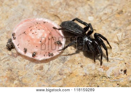 Zelotes latreillei with pink egg sac