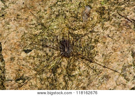 Rilaena triangularis harvestman spider from above