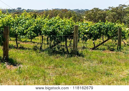 Australian vineyard. Grape plants vines on a sunny day green grape vines
