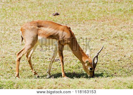 Grant's gazelle male in Lake Nakuru National Park - Kenya