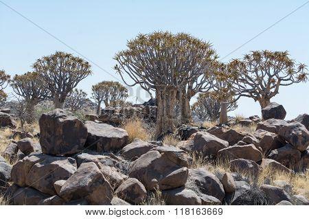 Koekerboom (aloe Dictoma) In Namibia