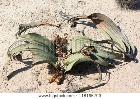 Welwitchia Plant In Desert, Namibia, Africa