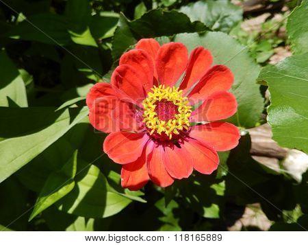 Perennial daisy flower